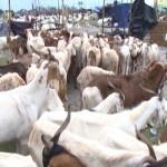 Des moutons sur le marché de Zongo à Sèmè-Podji.