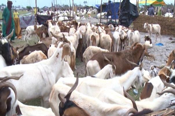 Tabaski : des moutons sur le marché de Zongo à Sèmè-Podji.